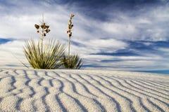 Yuccaen på White Sands den nationella monumentet Fotografering för Bildbyråer