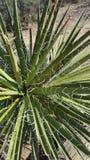 Yuccainstallatie op een woestijnsleep Stock Foto's