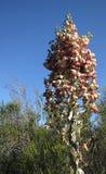 Yuccainstallatie in Zuidelijk Californië Royalty-vrije Stock Foto