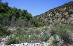 Yuccas de gorge de bétail Images stock