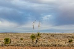New Mexico Rural Landscape. Yuccas growing in a remote New Mexico landscape stock images