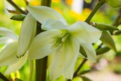 Yucche di fioritura che crescono nella via in Tenerife, isole Canarie, Spagna Albero della baionetta spagnola Aloifolia dell'yucc Immagini Stock Libere da Diritti