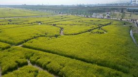 Yuchae Canola kwiatu festiwal w Nakdong rzece, Busan, Południowy Korea, Azja zbiory wideo