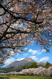 Yufuin cherry. Cherry blossoms along the river of Yufuin Stock Photography