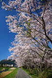 Yufuin cherry. Cherry blossoms along the river of Yufuin Royalty Free Stock Photo