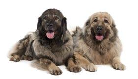 Yugoslav Shepherd Dog (7 years old) Royalty Free Stock Photography