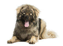 Yugoslav Shepherd Dog, 1 year old, lying and panting Royalty Free Stock Photo