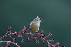 Yuhina di Formosa Immagine Stock