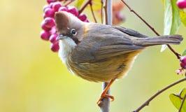 Yuhina: pájaro lindo con un punto Imágenes de archivo libres de regalías
