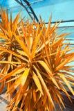 Yuka plant close up image. Green Yuka plant flower in the greenhouse in orange and blue Stock Photo