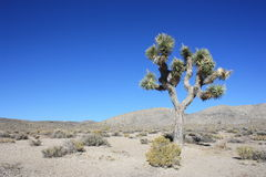 Yuka tree in desert Royalty Free Stock Photos