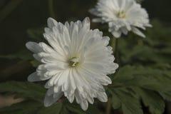` Yuki pseudoaltaica ветреницы никакое ` Sei Стоковые Изображения