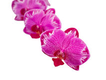 Yukidian orchid in white background, pink orchid. The ukidian orchid, pink orchid Royalty Free Stock Photo