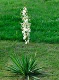 Yukka del jardín Imagen de archivo libre de regalías