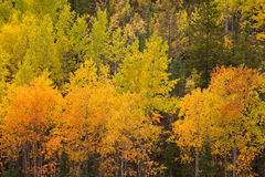 Yukon boreal forest taiga yellow fall aspen trees Royalty Free Stock Image