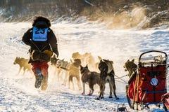 2016 Yukon-de honden van de Zoektochtslee Stock Foto