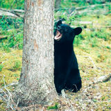 Yukon för Ursus för svart björn americanus boreal skog royaltyfri foto