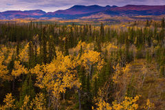 Yukon Gold - Fall in Yukon Territory, Canada Stock Photography