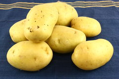 Yukon Gold Potatoes. A pile of yukon gold potatoes on a blue and gold kitchen towel Stock Image