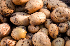 Yukon Gold potatoes Royalty Free Stock Photos
