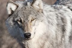 Yukon grey wolf portrait stock photo