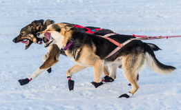 2016 Yukon Quest sled dogs Royalty Free Stock Images