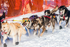 Yukon Quest sled dogs Royalty Free Stock Images