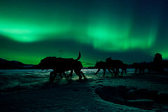 Yukon sled dog team pulling under northern lights. Silhouette of sled dog team pulling sleigh with musher under the northern lights Royalty Free Stock Image