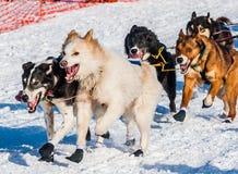 Yukon-Suchschlittenhunde Stockbild