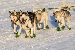 Yukon-Suchschlittenhunde 2016 lizenzfreie stockfotografie