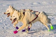 Yukon-Suchschlittenhunde 2016 lizenzfreies stockfoto