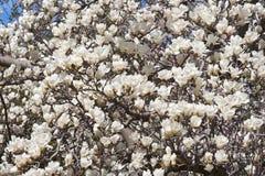 Yulan在开花的木兰树 免版税库存照片