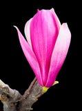 Yulan在黑背景的木兰花 图库摄影