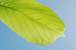Yulan木兰geen在蓝天的叶子 免版税图库摄影