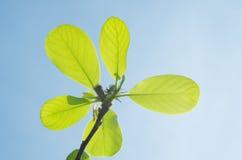 Yulan木兰geen在蓝天的叶子 库存图片