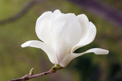 yulan的花 免版税库存图片