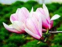 Yulan,木兰花,中国白色木兰,花 免版税图库摄影