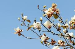 Yulan bianco Immagini Stock