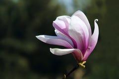 Yulan flower Stock Photos