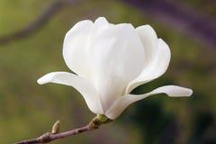 Yulan flower Royalty Free Stock Images