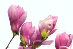 Yulan flowers Stock Images