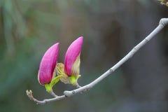 Yulan kwiatu pączki Obrazy Royalty Free