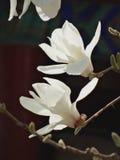 Yulan kwitnie w lato pałac Obrazy Royalty Free