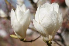 Yulan magnolia Obrazy Stock