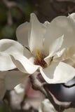 Yulan magnolia flower Stock Photography