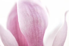 Yulan Magnolia  Petal Background Stock Photos