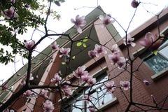 yulan magnoliablomma Arkivbild