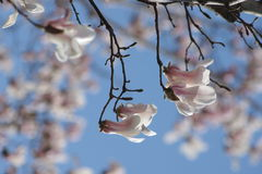 Yulan magnolias are in blossoming. Magnolia flower are in blossoming Royalty Free Stock Photography