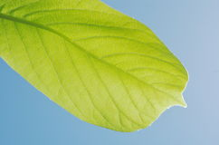 Yulan magnolias geen leaf in blue sky Royalty Free Stock Photography