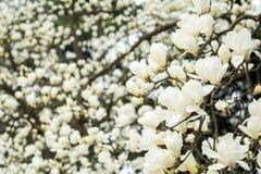 Yulan magnolii kwiaty Zdjęcia Royalty Free